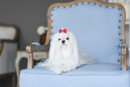 Maltese with blue