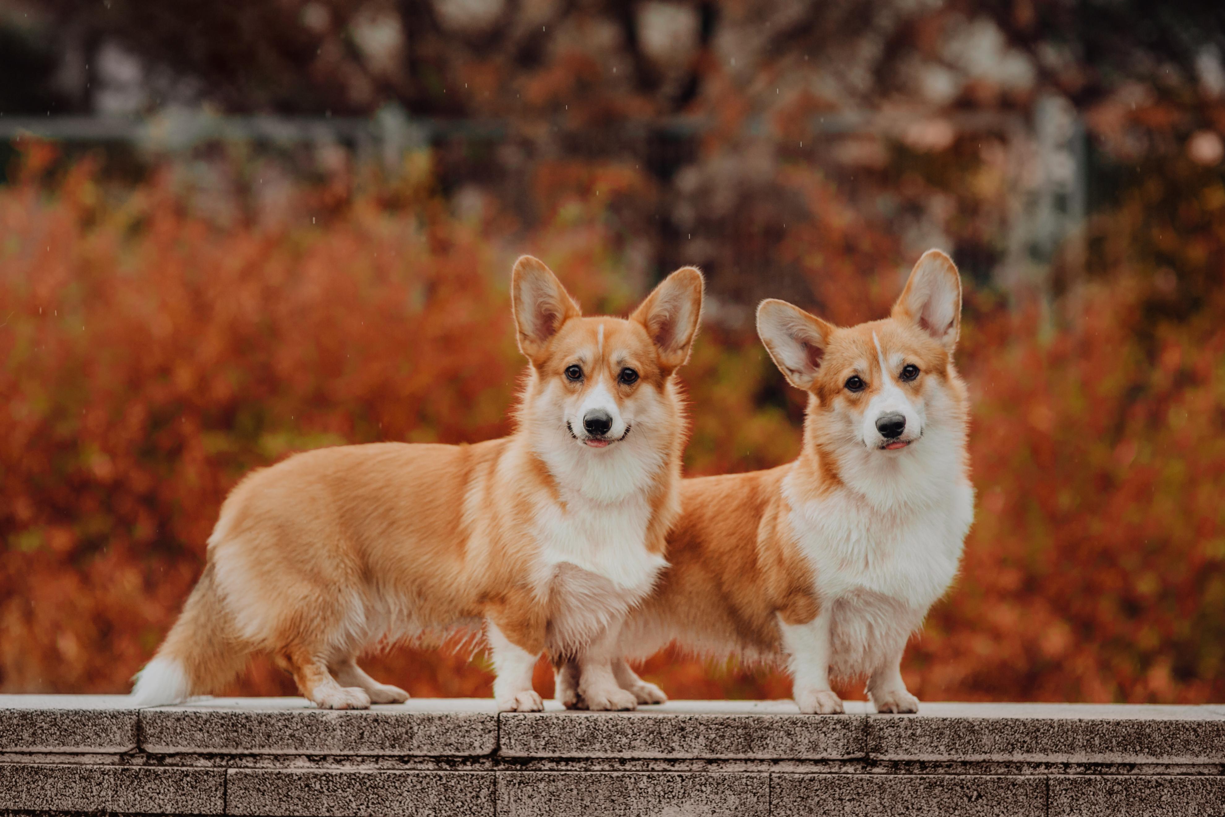 Corgi Dog Karma, legowiska, zabawki, Royal Canin, karma weterynaryjna, dieta